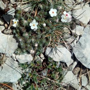 Photographie n°2118202 du taxon Androsace villosa L. [1753]