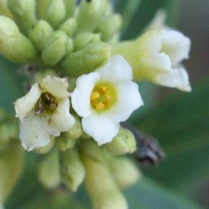 Photographie n°2118588 du taxon Daphne gnidium L. [1753]