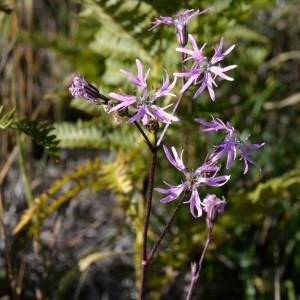 Photographie n°2118747 du taxon Lychnis flos-cuculi L. [1753]