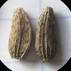 Photographie n°2118776 du taxon Arctium lappa L. [1753]
