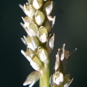Photographie n°2118812 du taxon Sporobolus indicus (L.) R.Br.