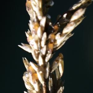 Photographie n°2118825 du taxon Sporobolus indicus (L.) R.Br.