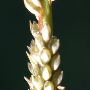 Photographie n°2118827 du taxon Sporobolus indicus (L.) R.Br.