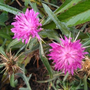 Photographie n°2118912 du taxon Centaurea calcitrapa L. [1753]