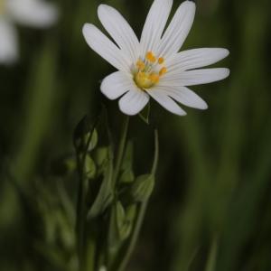 Stellaria holostea L. (Stellaire holostée)