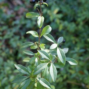 Photographie n°2119183 du taxon Ligustrum vulgare L. [1753]
