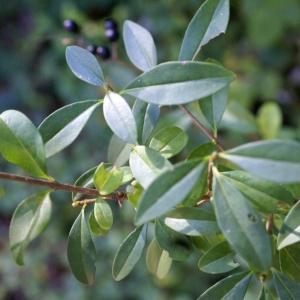 Photographie n°2119185 du taxon Ligustrum vulgare L. [1753]