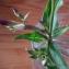 Gentiana germanica Willd. [nn29748] par Catherine DURET le 04/11/2017 - Saint-Martin-d'Hères