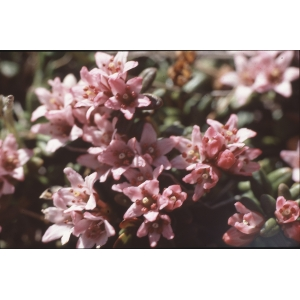 Kalmia procumbens (L.) Gift, Kron & P.F.Stevens (Azalée couchée)