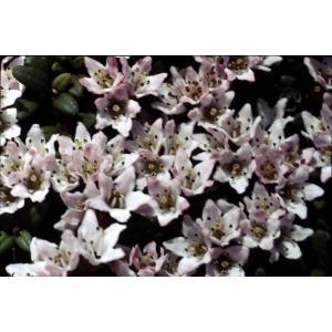 Loiseleuria procumbens (L.) Desv. (Azalée couchée)