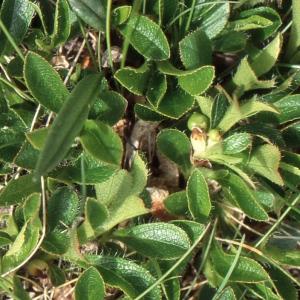 - Arctostaphylos alpinus (L.) Spreng.