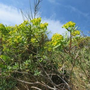 Photographie n°2120193 du taxon Euphorbia dendroides L. [1753]