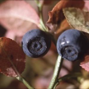 Photographie n°2120435 du taxon Vaccinium myrtillus L.