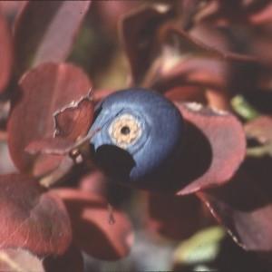 Photographie n°2120438 du taxon Vaccinium myrtillus L.