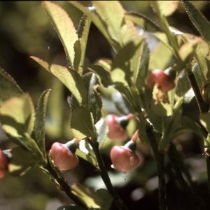 Photographie n°2120440 du taxon Vaccinium myrtillus L. [1753]