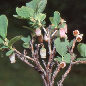 Photographie n°2120442 du taxon Vaccinium uliginosum L. [1753]