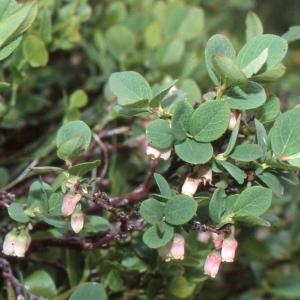 Photographie n°2120443 du taxon Vaccinium uliginosum L. [1753]