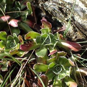 Photographie n°2120470 du taxon Saxifraga paniculata Mill.