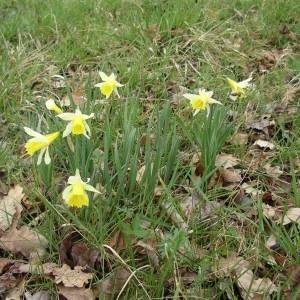 Photographie n°2120545 du taxon Narcissus pseudonarcissus L. [1753]