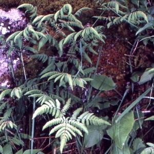 Photographie n°2120587 du taxon Gymnocarpium dryopteris (L.) Newman [1851]