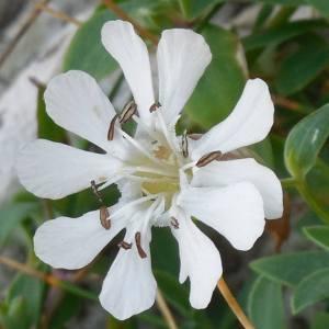 Photographie n°2120865 du taxon Silene uniflora subsp. uniflora