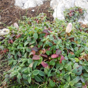 Photographie n°2120866 du taxon Silene uniflora subsp. uniflora
