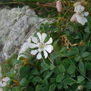 Photographie n°2120868 du taxon Silene uniflora subsp. uniflora