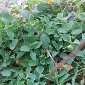 Photographie n°2120869 du taxon Silene uniflora subsp. uniflora
