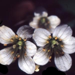Photographie n°2120978 du taxon Saxifraga granulata L.