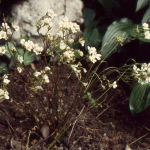 Photographie n°2120980 du taxon Saxifraga granulata L.