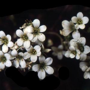 Photographie n°2120981 du taxon Saxifraga granulata L.