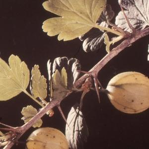 Photographie n°2120995 du taxon Ribes uva-crispa L. [1753]