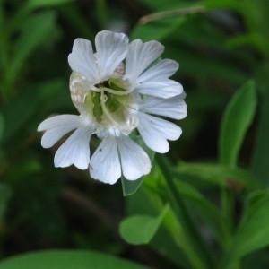 Photographie n°2121028 du taxon Silene uniflora subsp. uniflora