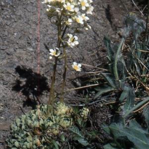 Photographie n°2121061 du taxon Saxifraga paniculata Mill.
