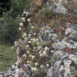 Photographie n°2121066 du taxon Saxifraga paniculata Mill.