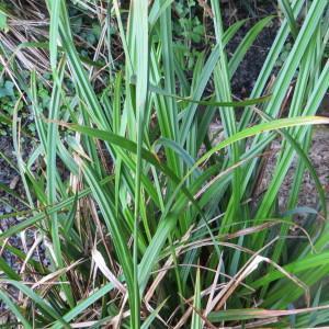 Photographie n°2121071 du taxon Carex pendula Huds.
