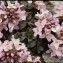 Liliane Roubaudi - Noccaea rotundifolia (L.) Moench [1802]