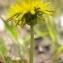 Sylvain Piry - Taraxacum erythrospermum Andrz. ex Besser