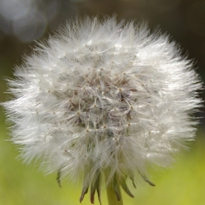 - Taraxacum erythrospermum Andrz. ex Besser