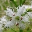 Menyanthes trifoliata L. [1753] [nn42314] par Francoise PEYRISSAT le 18/05/2008 - Lavoine