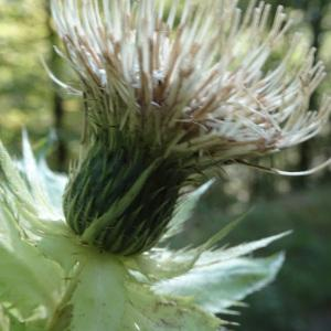Photographie n°2121485 du taxon Cirsium oleraceum (L.) Scop. [1769]
