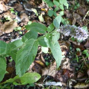 Photographie n°2121508 du taxon Mentha longifolia (L.) Huds. [1762]