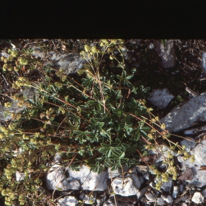 Photographie n°2121677 du taxon Alchemilla L.