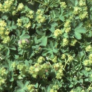 Alchemilla pentaphyllea L. (Alchémille à cinq folioles)