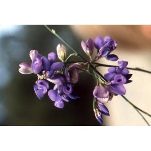 Polygala vulgaris L. subsp. vulgaris (Polygala commun)