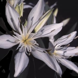 Pancratium illyricum L. (Pancrace d'Illyrie)