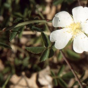 Photographie n°2121761 du taxon Rosa arvensis Huds. [1762]
