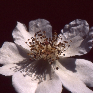 Photographie n°2121762 du taxon Rosa arvensis Huds. [1762]