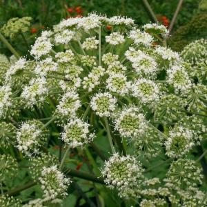 Photographie n°2121888 du taxon Angelica sylvestris L. [1753]