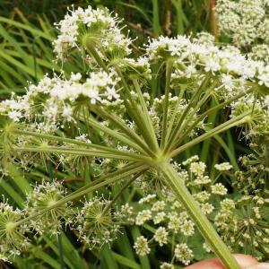 Photographie n°2121890 du taxon Angelica sylvestris L. [1753]